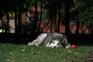 How Could You Know, Your German Shepherd Husky Mix Is Lonely?