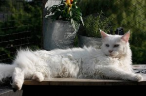 Maine Coon, 12 Best Images of Maine Coon and colors.