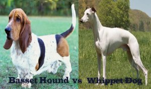 Basset Hound Vs Whippet Dog Breed – Which One Is The Best Pet?