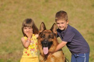German Shepherd Siberian Husky Mix- Is A Dog Of Dreams For Your Family?