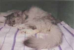 What Is The Treatment And How To Diagnose Toxoplasmosis In Cats?