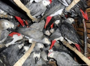 Breaking: Turkish Airlines promises to stop transporting African grey parrots