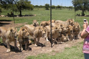 Lions in a facility in South Africa - image by Blood Lions