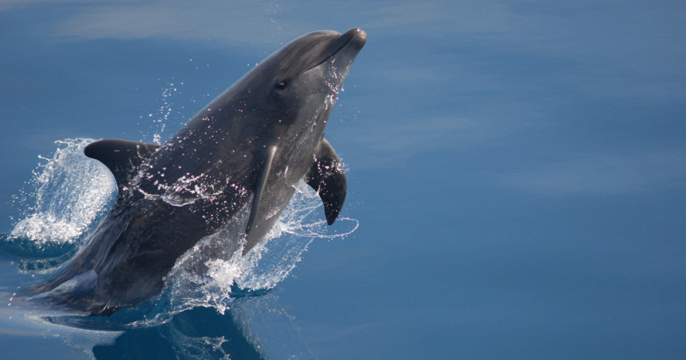 A wild dolphin jumps out of the water